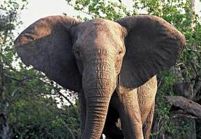 Elephant no tusks