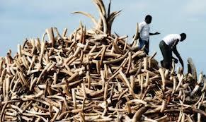 Mass Ivory